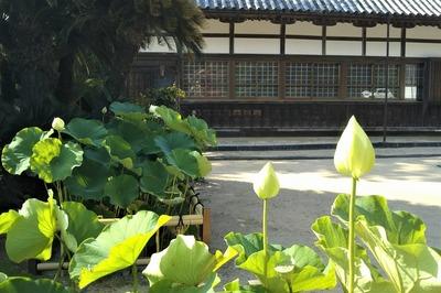 西圓寺の青蓮5.jpg