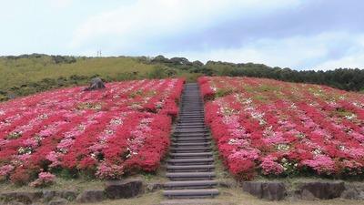 見ごろのキリシマツツジと階段.jpg