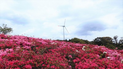 見ごろのキリシマツツジと風車.jpg