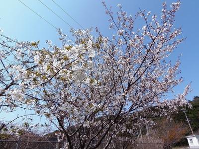見ごろの桜1.jpg