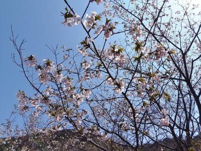 見ごろの桜2.jpg