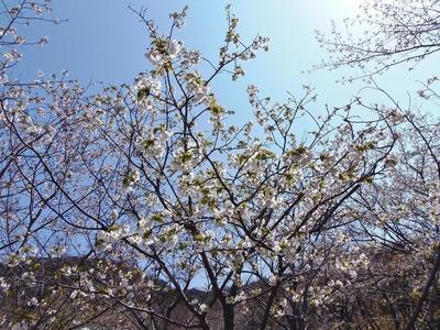 見ごろの桜3.jpg