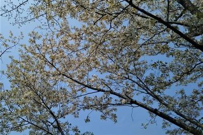 見ごろを迎えた桜.jpg
