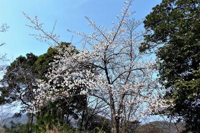 見ごろを迎えた桜1.jpg