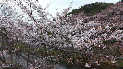 見ごろを迎えた桜2.jpg