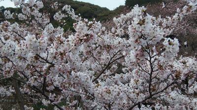 見ごろを迎えた桜3.jpg