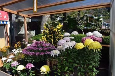 見事な菊の花.jpg
