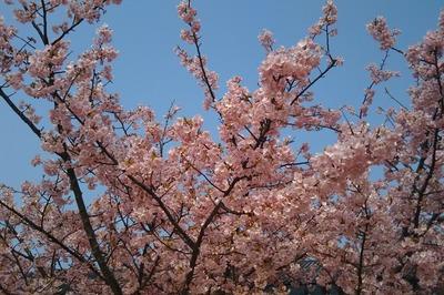 親水公園の河津桜2.jpg