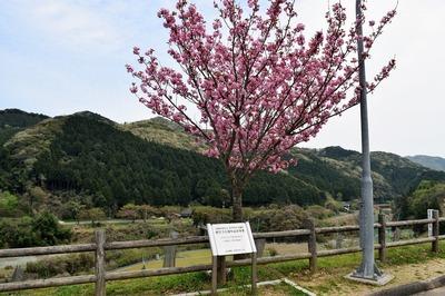 記念樹.jpg