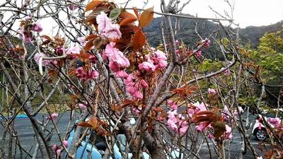 遅咲きの桜.jpg