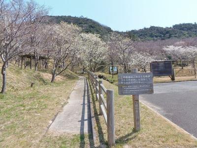 遊歩道と桜.jpg