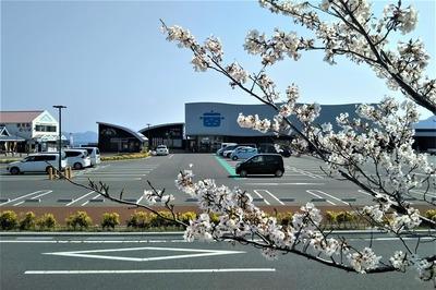 道の駅センザキッチk桜.jpg