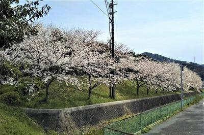 長門市総合公園の桜2.jpg