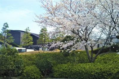 長門市総合公園の桜3.jpg