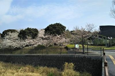 長門市総合公園の桜4.jpg