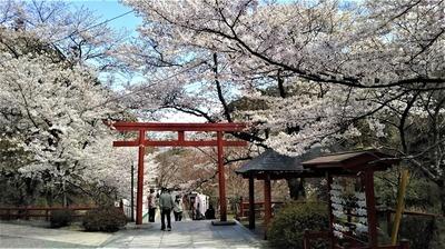長門豊川稲荷の桜1.jpg