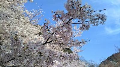 長門豊川稲荷の桜2.jpg