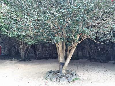 開花宣言する標準木.jpg