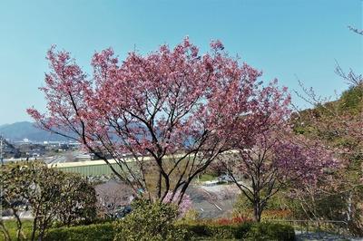 陽光桜3.jpg
