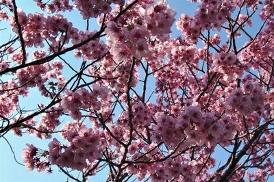 陽光桜4.jpg