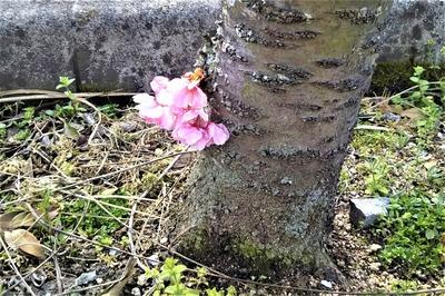 陽光桜5.jpg