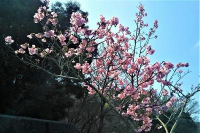 陽光桜7.jpg