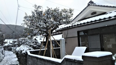 雪化粧の夏みかん原樹1.jpg