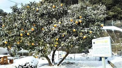 雪化粧の夏みかん原樹2.jpg