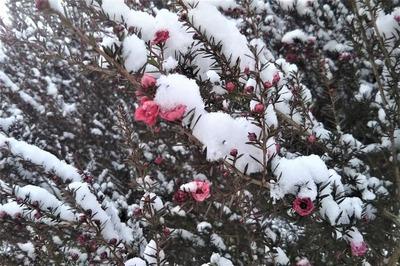 雪化粧の季節の花1.jpg