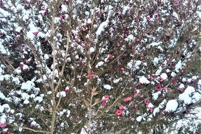 雪化粧の季節の花2.jpg