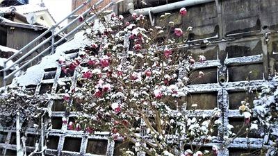 雪化粧の山茶花.jpg