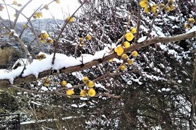 雪化粧の蝋梅1.jpg