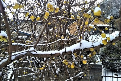 雪化粧の蝋梅2.jpg