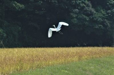 青海の白鷺.jpg