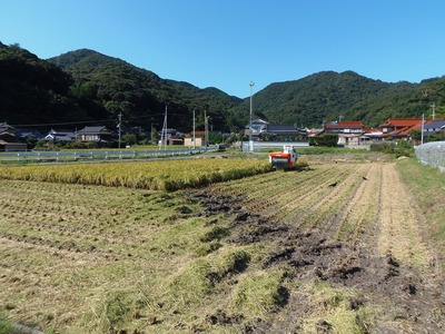 青海の稲刈り1.jpg