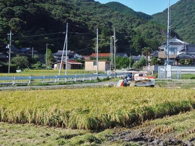 青海の稲刈り2.jpg
