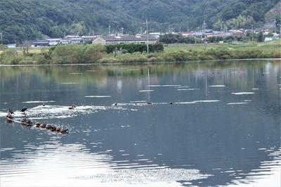 青海地区・青海湖・野鳥.jpg