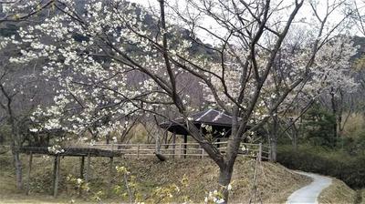 青海島さくらの里2.jpg