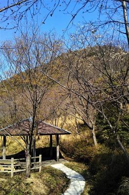青海島さくらの里 桜開花1.jpg