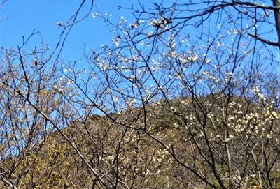 青海島さくらの里 桜開花2.jpg