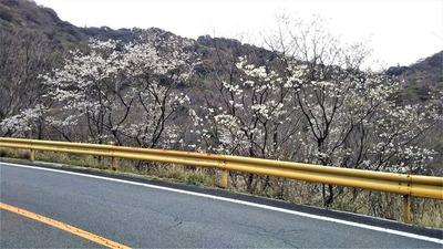 青海島さくらの里7.jpg