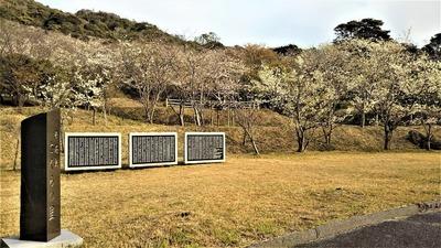 青海島さくらの里の桜1.jpg