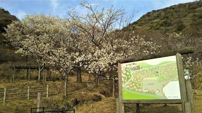 青海島さくらの里の桜2.jpg