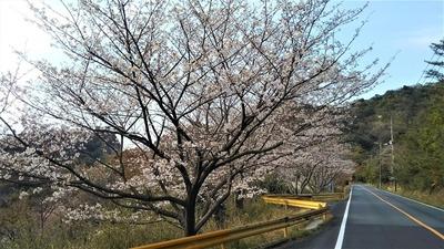 青海島さくらの里の桜3.jpg