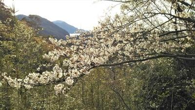 青海島さくらの里の桜4.jpg