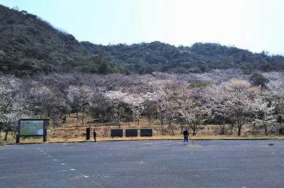 青海島さくらの里の看板と桜3.jpg