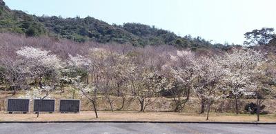 青海島さくらの里オーナー碑と桜.jpg