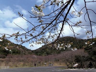 青海島さくらの里・市営駐車場の桜.JPG