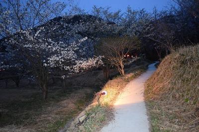 青海島さくらの里夜桜2.jpg