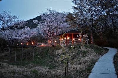 青海島さくらの里夜桜3.jpg